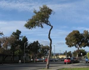Tree trimming in Alameda