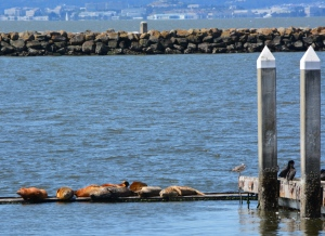 Harbor seals resting at Alameda Point