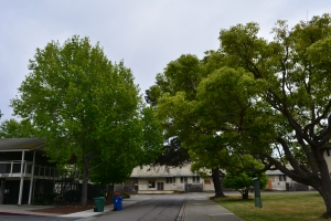 Main Street neighborhood trees
